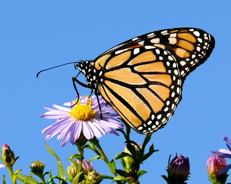 Butterfly - Monarch by Rittmaster